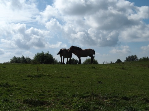 Cuddling Belgian Horses